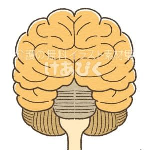 脳(正面)のイラスト