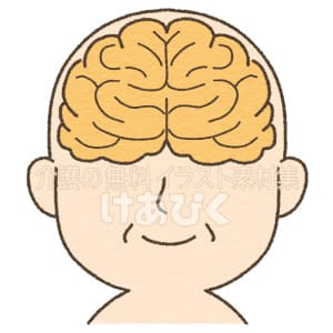 脳(正面)のイメージイラスト