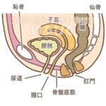 女性の骨盤内臓器(泌尿器周辺)のイラスト
