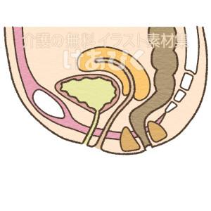 女性の骨盤内臓器(泌尿器周辺)のイラスト(名称なし)